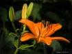 Orange Lily-Bridg...