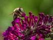 Honeybee gatherin...