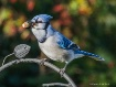 Bluejay with acor...
