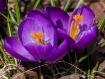 Purple Crocus (At...