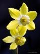 Backlit Daffodils...