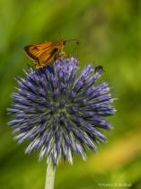 Orange Skipper & Bee on Allium (Athol, MA)
