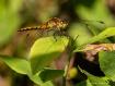 Dragonfly (Athol,...