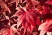 Red Leaves - 295
