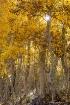 backlit aspen