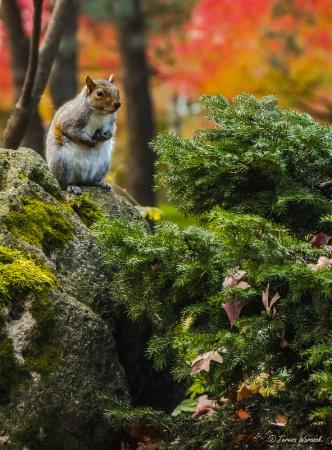 curious gray squirrel