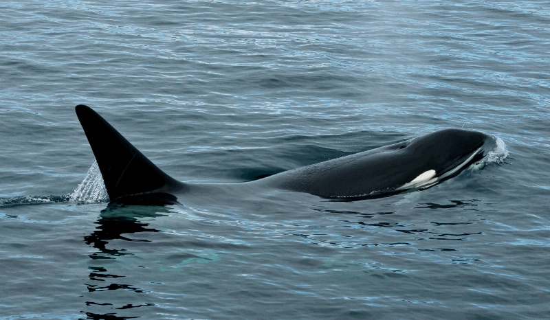Alaskan Orca - ID: 14257800 © William S. Briggs