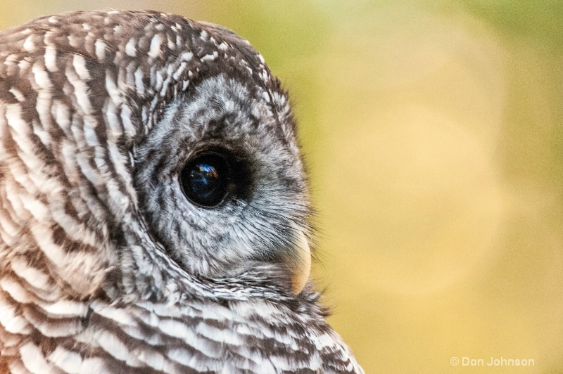 Barred Owl Profile - ID: 14260425 © Don Johnson