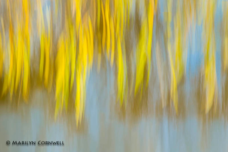 Willow Weep For Me - ID: 14266608 © Marilyn Cornwell
