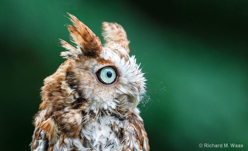 Cute Baby Owlet - ID: 14266814 © Richard M. Waas