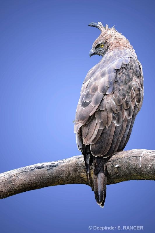 Changeable Hawk-Eagle (Spizaetus cirrhatus)