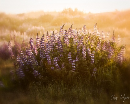 Lupine at Sunset