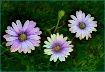 Trio of Daisies