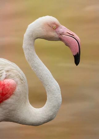 Pink Flamingo On Golden Pond