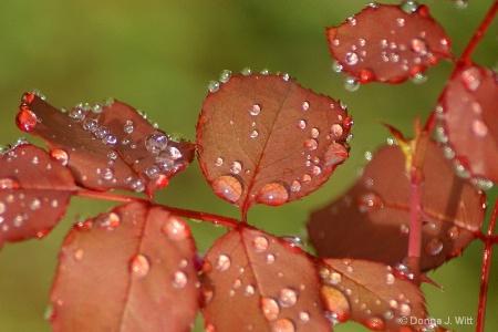 Dew On Rose Leaves