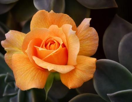 ~Friendship Rose~