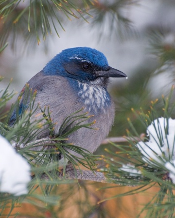 Western Scrub-Jay with snow on its beak