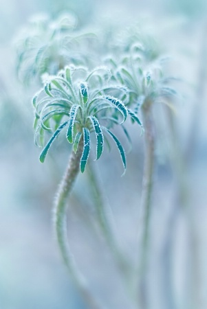 Frost Rimmed