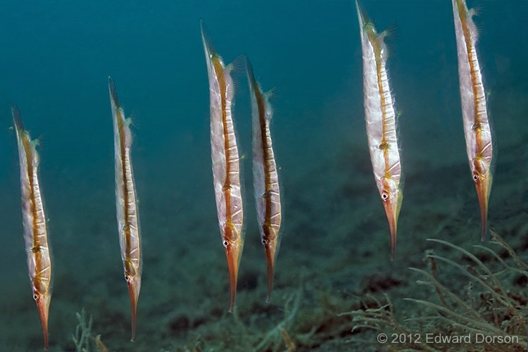 Rigid Shrimpfish - ID: 14325290 © Edward Dorson