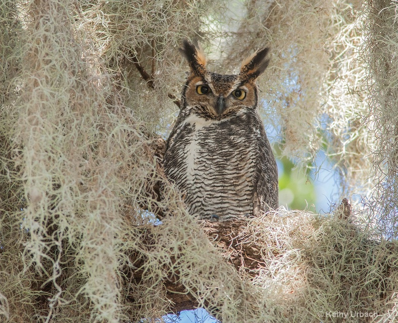 Male Great Horned Owl Among the Spanish Moss