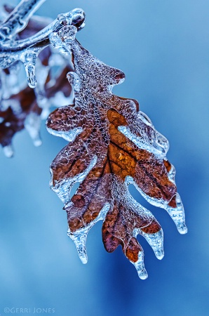 Iced Oak Leaf