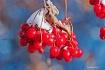 Pin Cherries