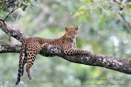 Leopard-Kabini Nagarahole Forest Reserve-India-1