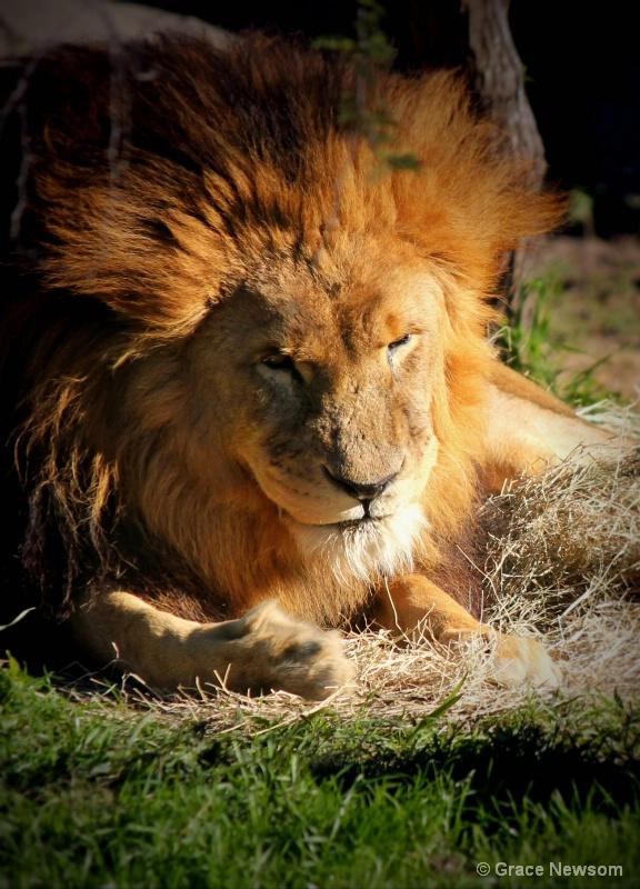 Lion King - ID: 14341941 © Grace Newsom