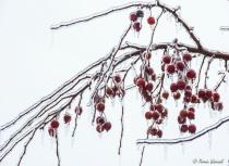 frozen wild apples