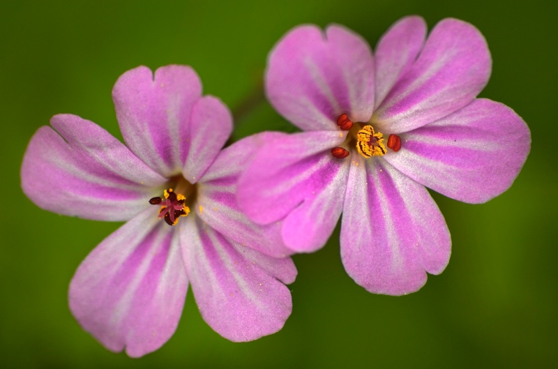 Wild Geranium Double