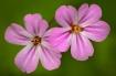 Wild Geranium Dou...
