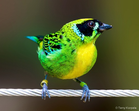 Green and Gold Tanager