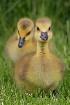 Gosling Siblings