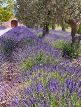 French Lavender with Viveza@@