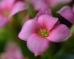 Pink Minis