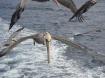 cabo pelican