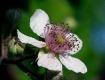Blackberry blosso...