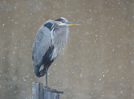 Dejected Blue Heron in the Snow