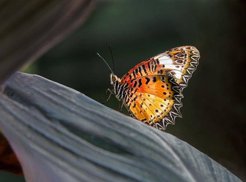 Backlit Butterfly - ID: 14353432 © Kelly Pape