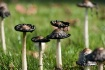 Black Mushrooms