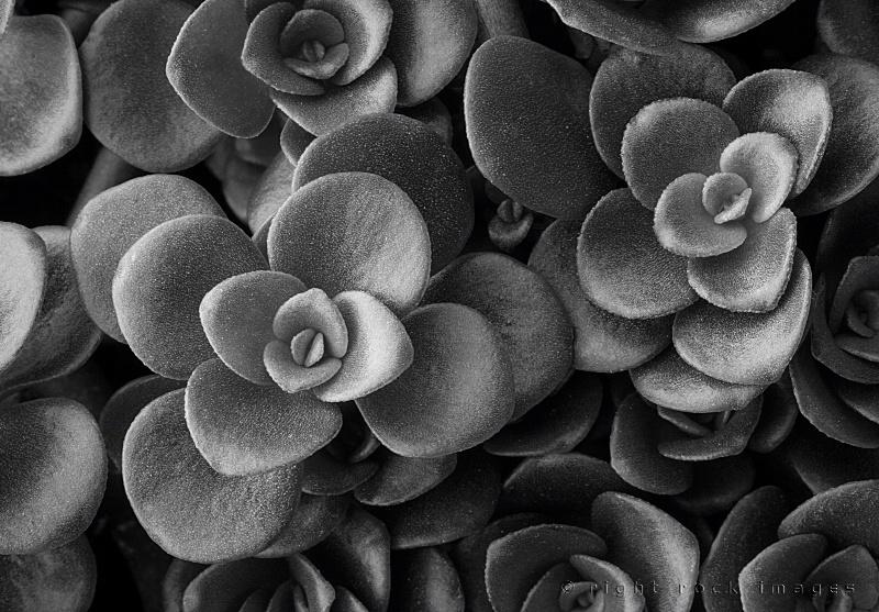 Succulent in Black & White II