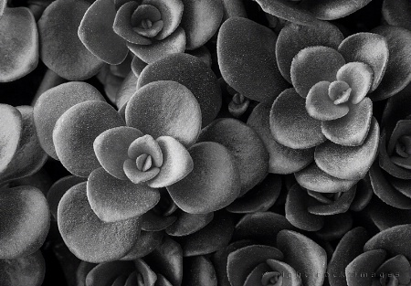 Succulent in Black & White II