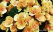 begonia apricot