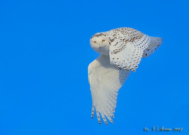 Snowy Owl fly by