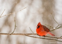 Cardinal-Cropped and Rotated