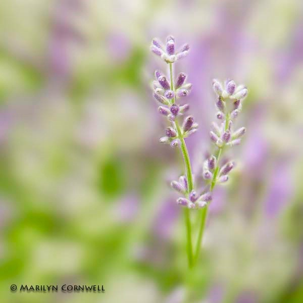 Summertime Friends - ID: 14359777 © Marilyn Cornwell