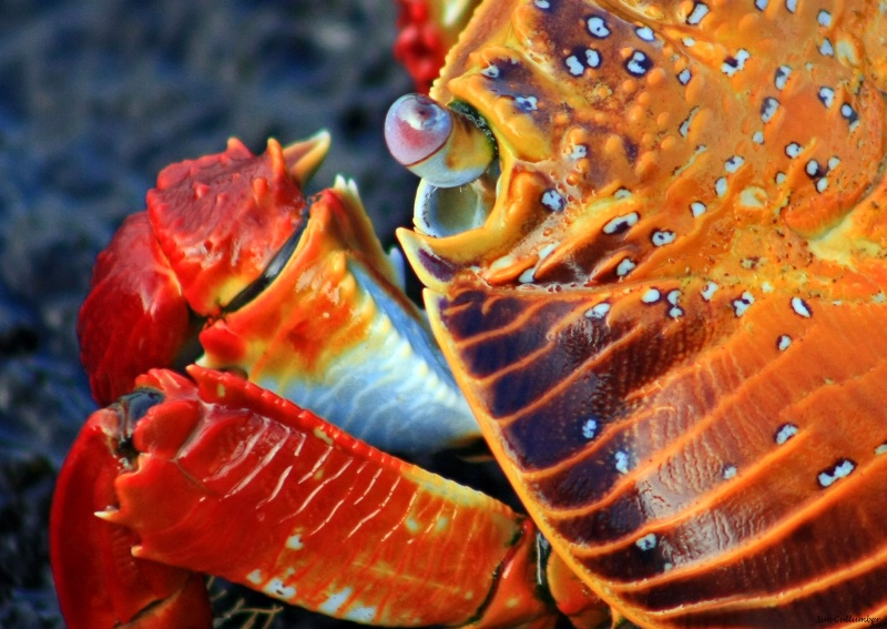 Distinctive Crab Colors