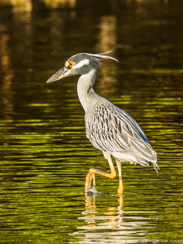 Yellow Crowned Night Heron in Florida Highlands