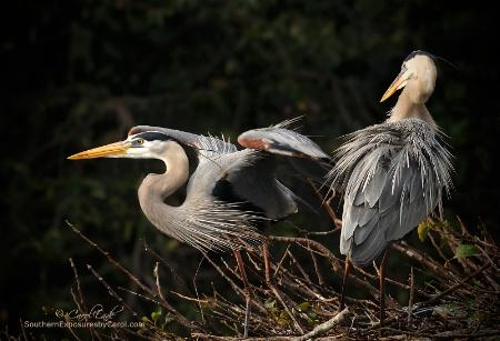 Great Blue Heron Pair, Wakodahatchee Wetlands