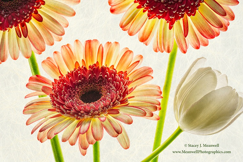 Gerberas - ID: 14374629 © Stacey J. Meanwell